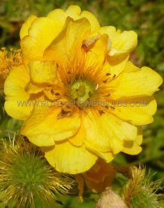 GEUM (CHOCOLATE ROOT) CHILOENSE 'LADY STRATHEDEN' I (25 P.BAG)