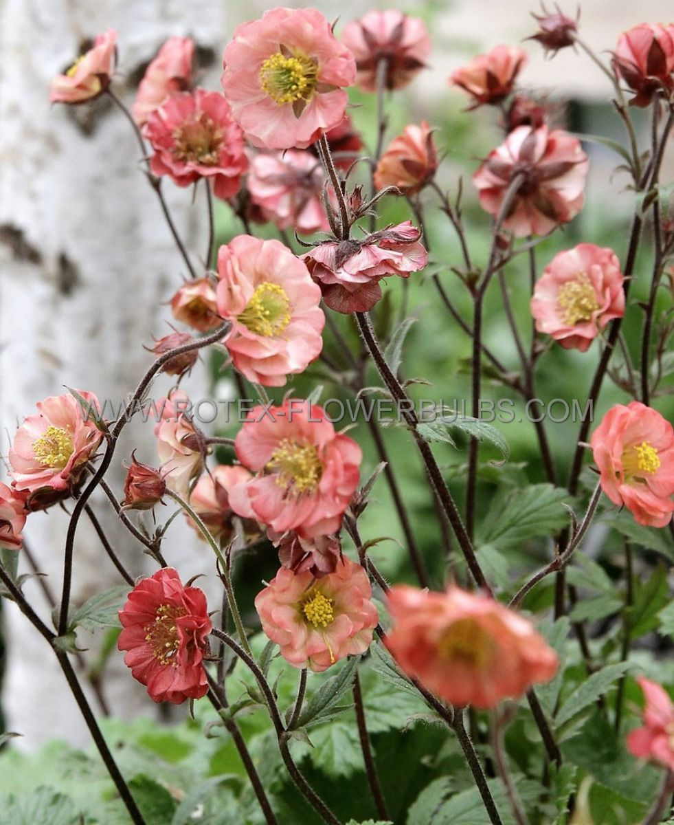 geum chocolate root rivale flames of passion i 25 pbag