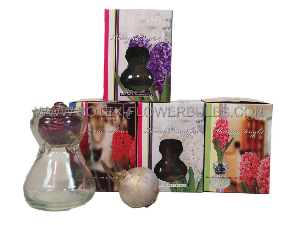 giftparcelsindoor culture glasses hyacinth assortment inclbulbs 24 pcsx 1