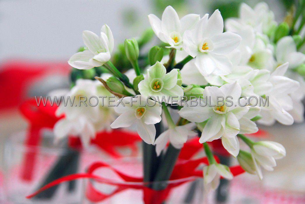 giftparcelsindoor culture plastic pots with paperwhites 1415 cm 12 pcsx 5