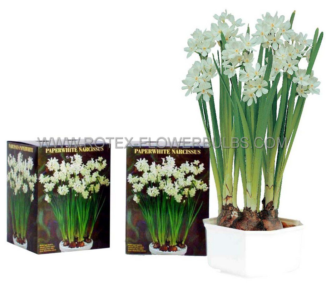 giftparcelsindoor culture plastic pots with paperwhites 1415 cm 12 pcsx 5