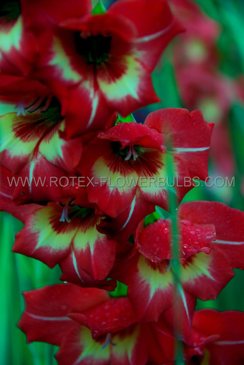 gladiolus bambino brescia 12 cm 10 pkgsx 10