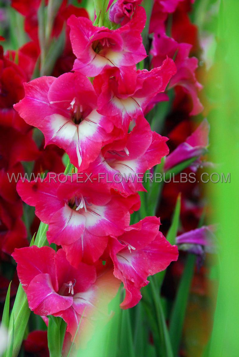 gladiolus bambino san siro 12 cm 10 pkgsx 10