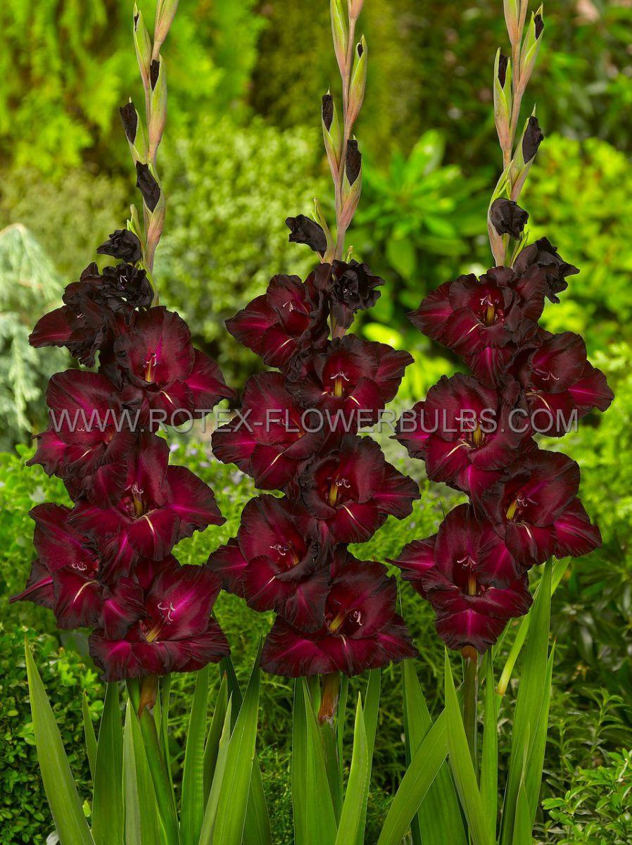 gladiolus large flowering black surprise 1214 cm 10 pkgsx 10