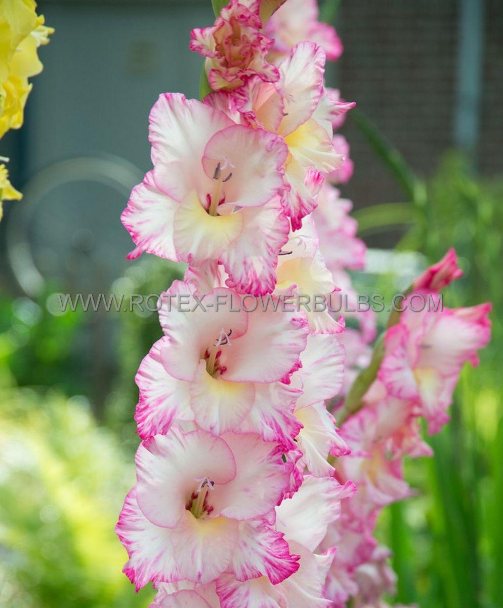 gladiolus large flowering dolce vita 1214 cm 10 pkgsx 10