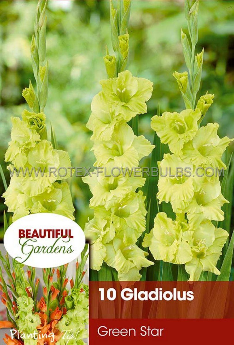 gladiolus large flowering green star 1214 cm 10 pkgsx 10