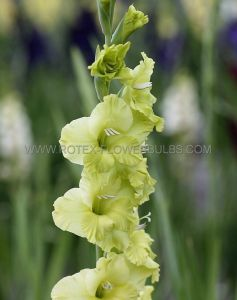 GLADIOLUS LARGE FLOWERING 'GREEN STAR' 14/+ CM. (100 P.BINBOX)