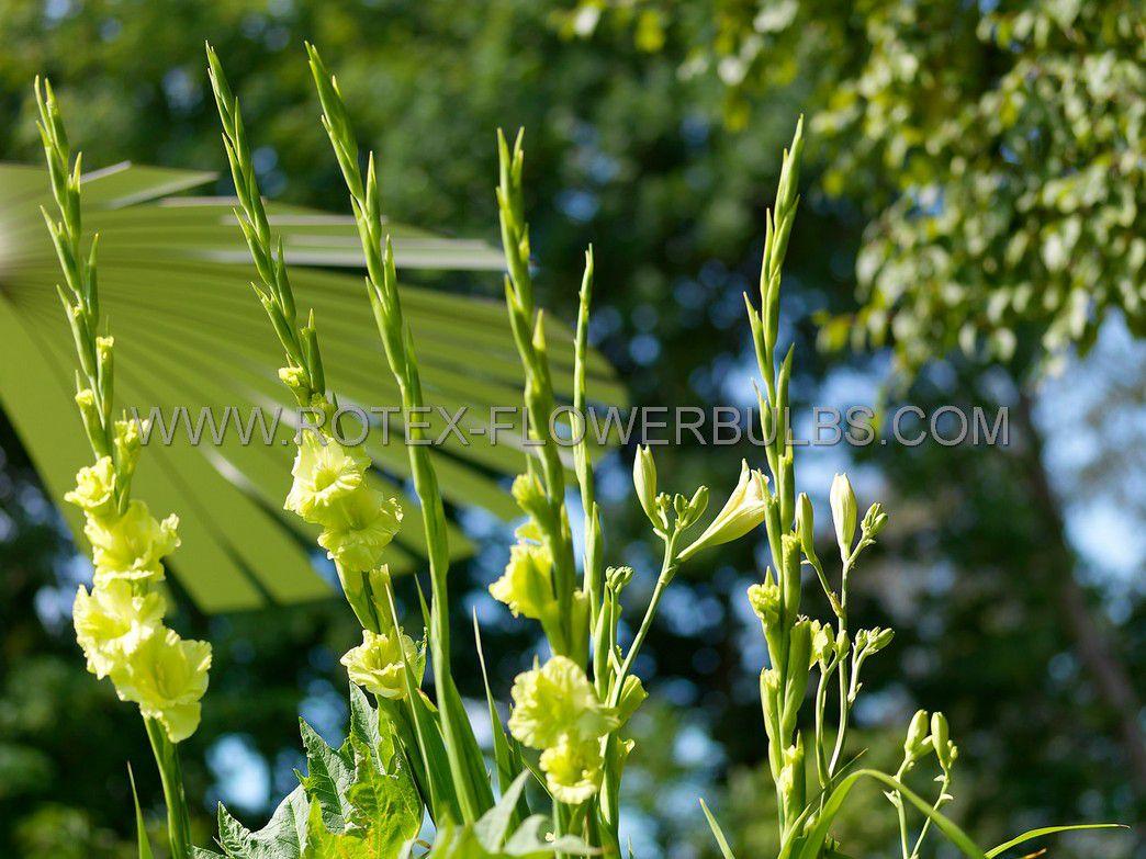 gladiolus large flowering green star 14 cm 100 pbinbox