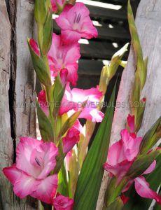 GLADIOLUS LARGE FLOWERING 'ISLA MARGARITA' 14/+ CM. (100 P.BINBOX)