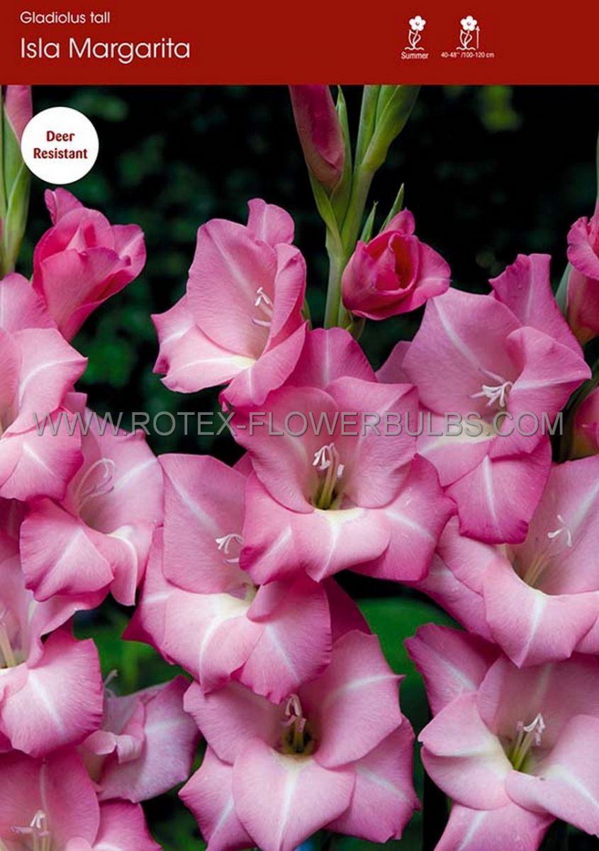 gladiolus large flowering isla margarita 14 cm 100 pbinbox