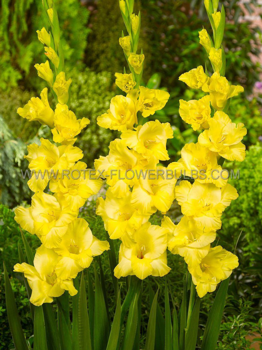gladiolus large flowering jacksonville gold 1214 cm 10 pkgsx 10