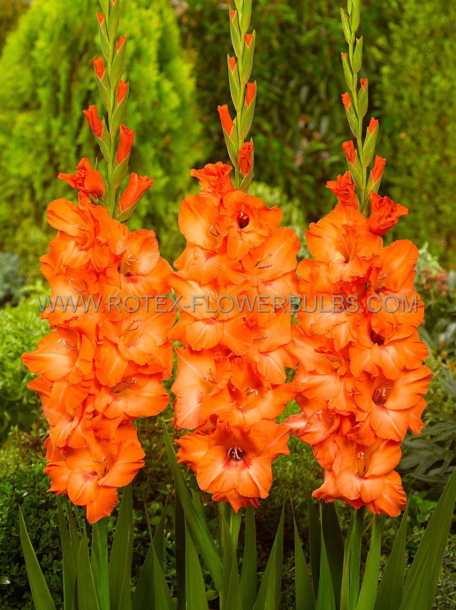 gladiolus large flowering jessica 1214 cm 10 pkgsx 10