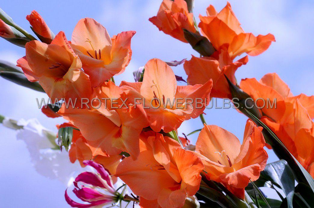 gladiolus large flowering jessica 14 cm 100 pbinbox