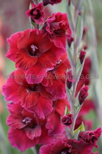 GLADIOLUS LARGE FLOWERING 'MEXICO' 14/+ CM. (100 P.BINBOX)