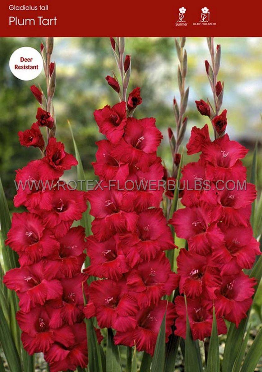 gladiolus large flowering mexico 14 cm 100 pbinbox