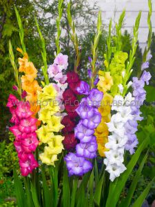 GLADIOLUS LARGE FLOWERING 'MIX' 12/14 CM. (10 PKGS.X 10)