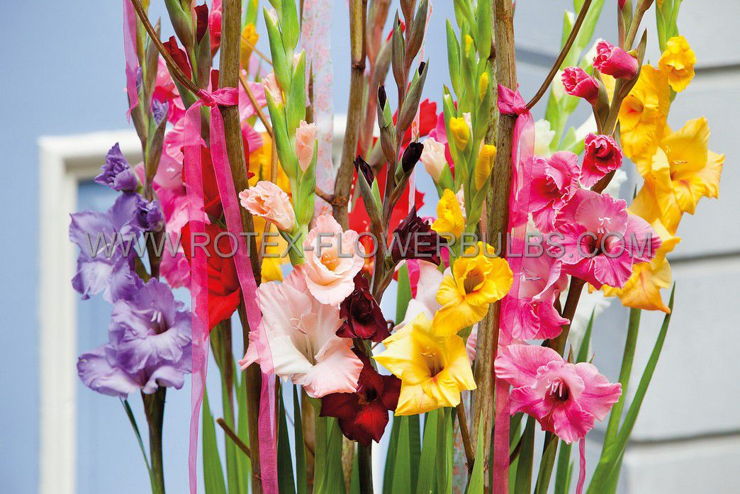 gladiolus large flowering mix 1214 cm 10 pkgsx 10