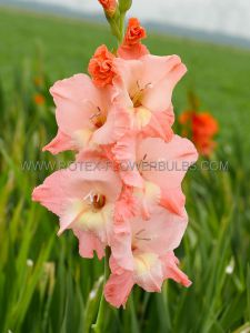 GLADIOLUS LARGE FLOWERING 'MONICA' 12/14 CM. (10 PKGS.X 10)