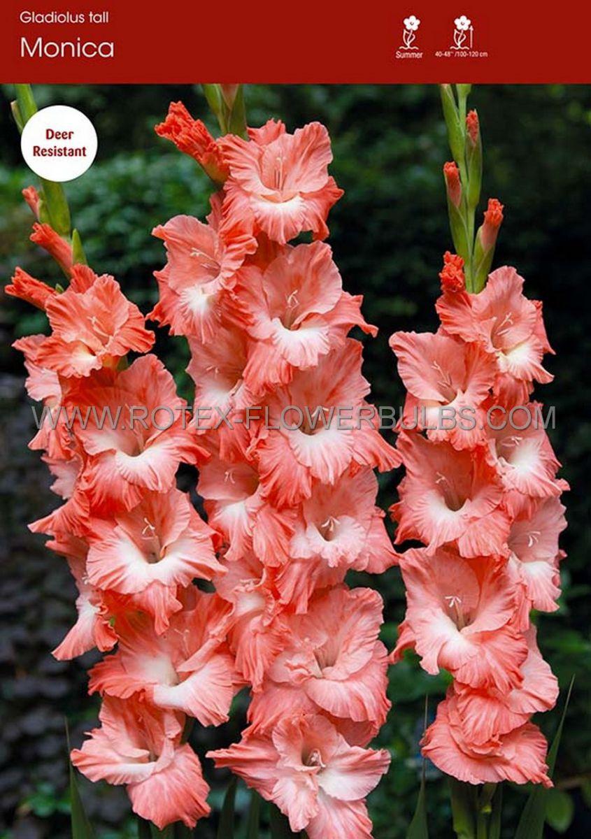 gladiolus large flowering monica 1214 cm 10 pkgsx 10