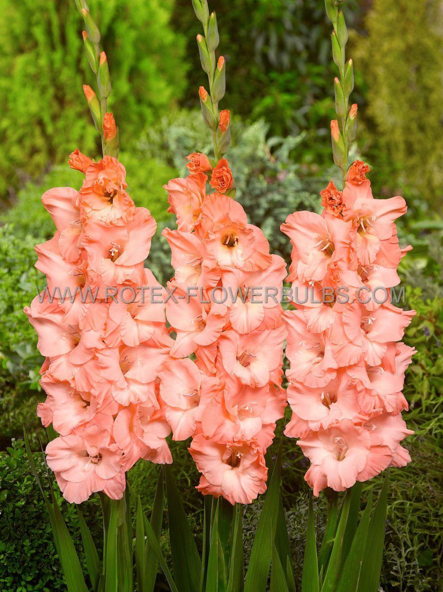 gladiolus large flowering monica 14 cm 100 pbinbox
