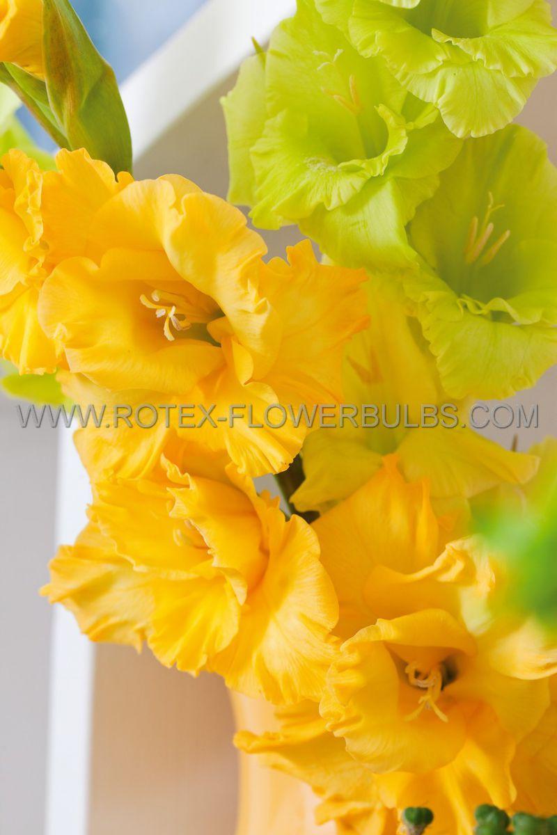 gladiolus large flowering nova lux 1214 cm 10 pkgsx 10