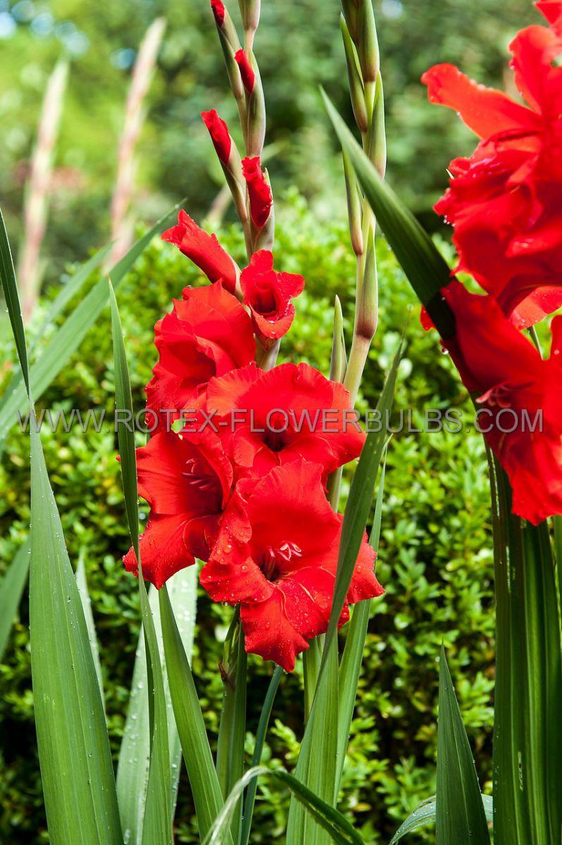 gladiolus large flowering oscar 1214 cm 10 pkgsx 10