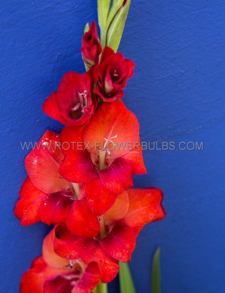 gladiolus large flowering oscar 14 cm 100 pbinbox