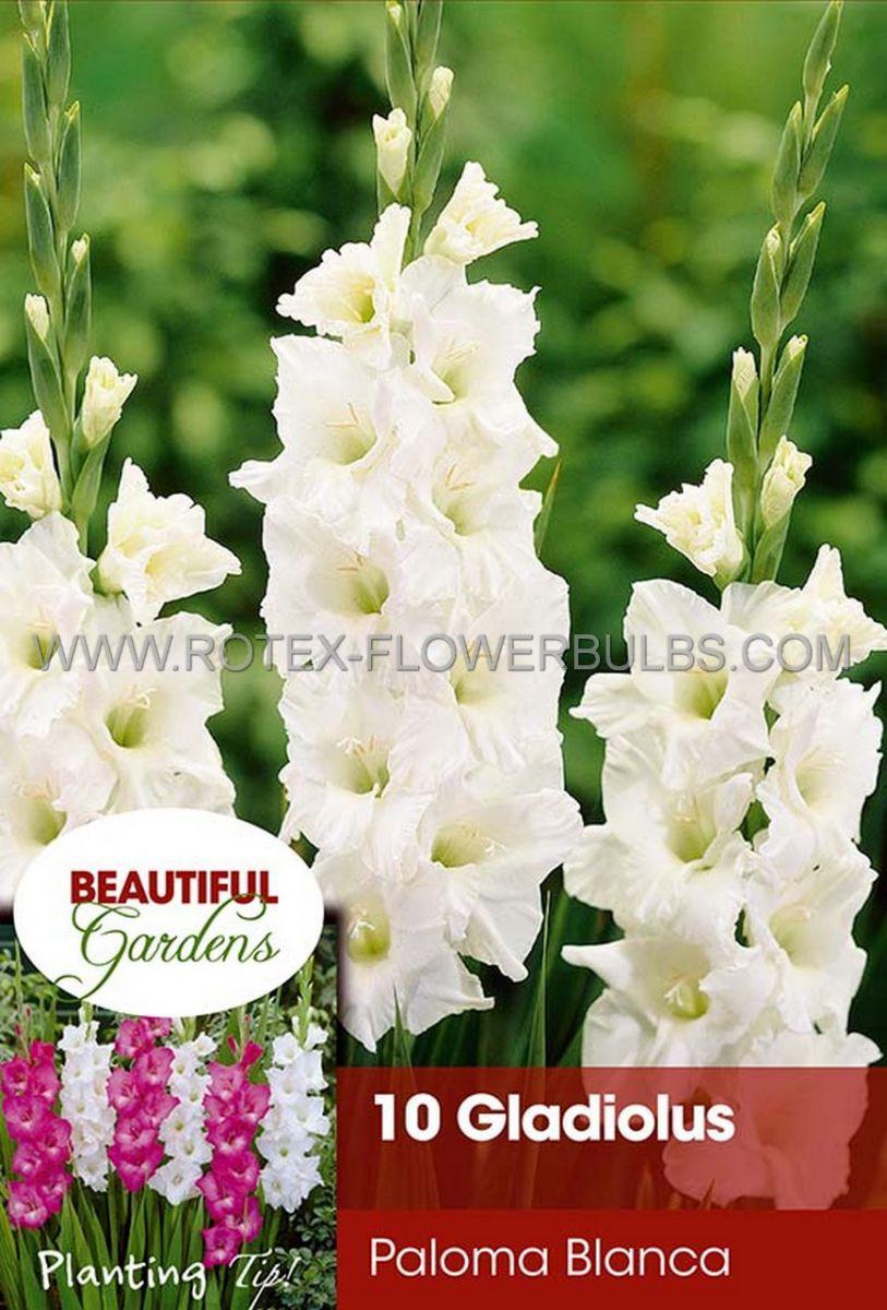 gladiolus large flowering paloma blanca 1214 cm 10 pkgsx 10
