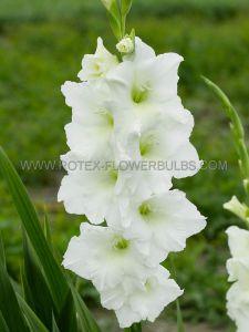 GLADIOLUS LARGE FLOWERING 'PALOMA BLANCA' 14/+ CM. (100 P.BINBOX)