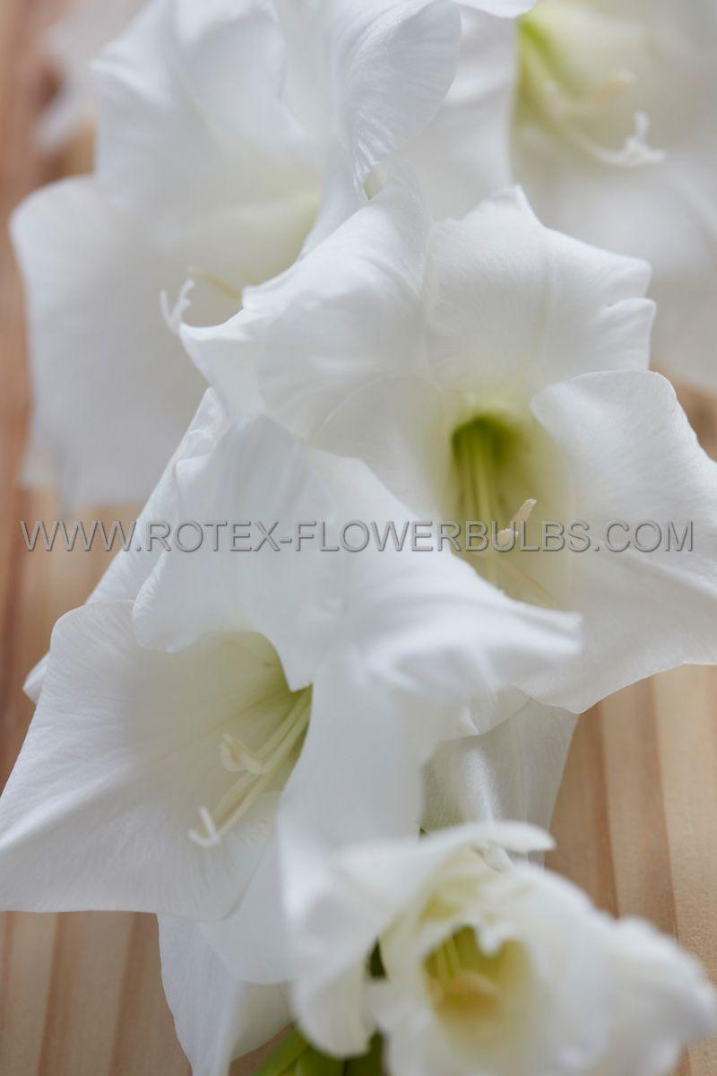 gladiolus large flowering paloma blanca 14 cm 100 pbinbox