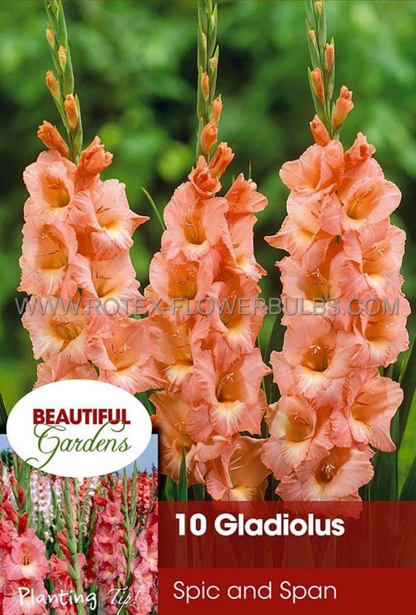 gladiolus large flowering spic span 1214 cm 10 pkgsx 10