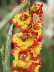 GLADIOLUS LARGE FLOWERING 'SUNSHINE' 12/14 CM. (10 PKGS.X 10)
