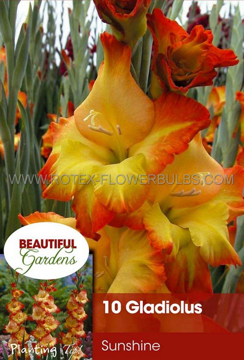 gladiolus large flowering sunshine 1214 cm 10 pkgsx 10