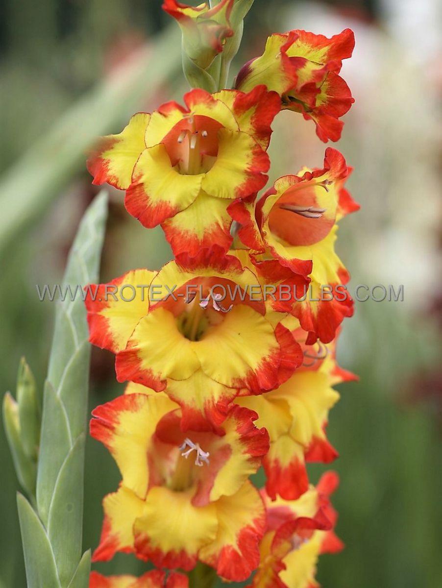gladiolus large flowering sunshine 14 cm 100 pbinbox