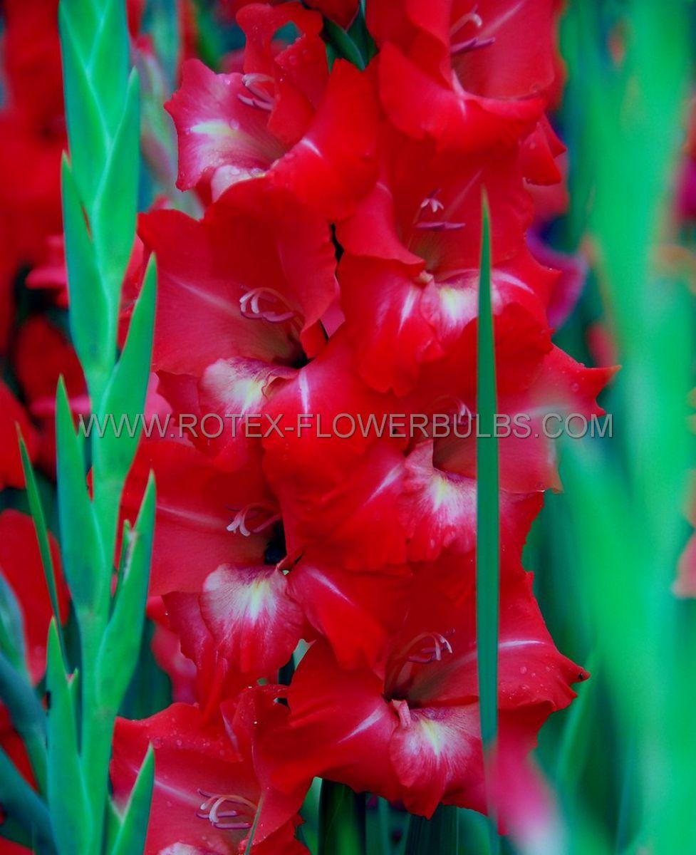 gladiolus large flowering traderhorn 1214 cm 10 pkgsx 10
