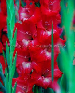GLADIOLUS LARGE FLOWERING 'TRADERHORN' 14/+ CM. (100 P.BINBOX)
