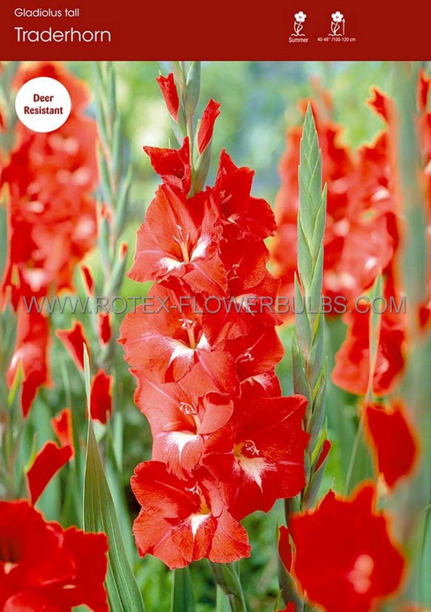 gladiolus large flowering traderhorn 14 cm 100 pbinbox