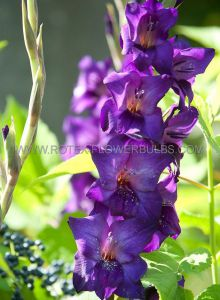 GLADIOLUS LARGE FLOWERING 'VELVET EYES' 12/14 CM. (10 PKGS.X 10)