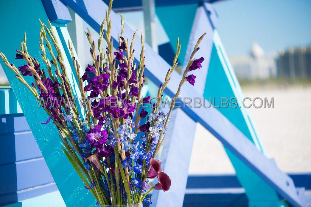 gladiolus large flowering velvet eyes 1214 cm 10 pkgsx 10