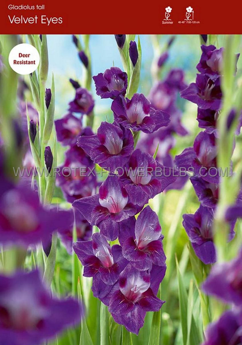 gladiolus large flowering velvet eyes 14 cm 100 pbinbox