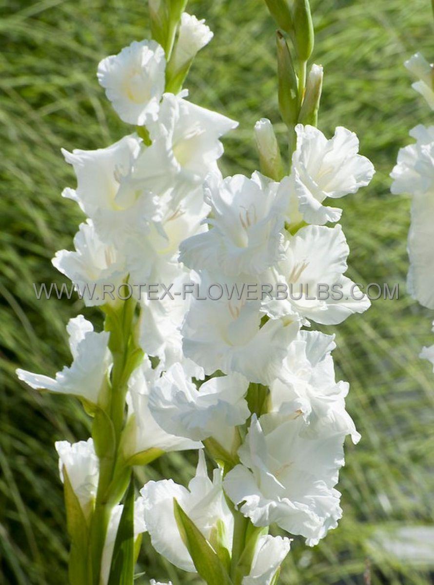 gladiolus large flowering white prosperity 1214 cm 10 pkgsx 10
