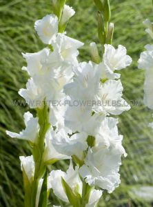 GLADIOLUS LARGE FLOWERING 'WHITE PROSPERITY' 12/14 CM. (10 PKGS.X 10)