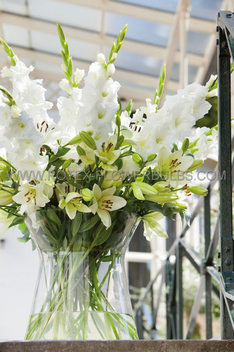 gladiolus large flowering white prosperity 14 cm 100 pbinbox