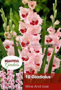 GLADIOLUS LARGE FLOWERING 'WINE AND ROSES' 12/14 CM. (10 PKGS.X 10)