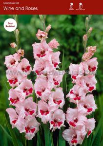 GLADIOLUS LARGE FLOWERING 'WINE AND ROSES' 14/+ CM. (100 P.BINBOX)