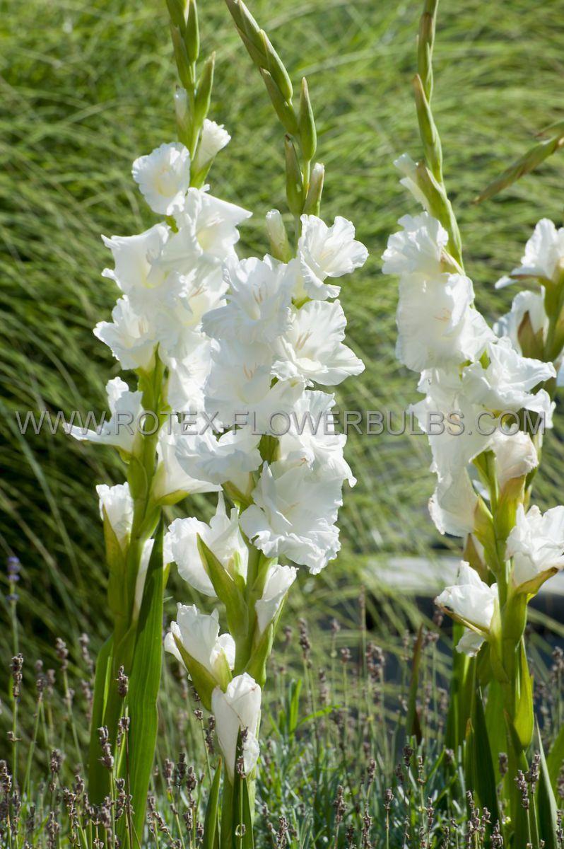 gladiolus ruffled snowy ruffle 1214 cm 10 pkgsx 10