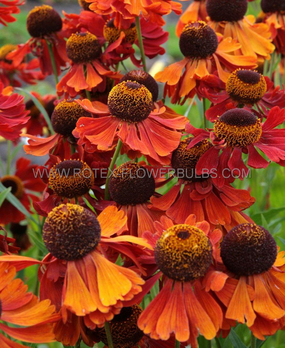 helenium sneezeweed hybrida moerheim beauty i 25 pbag