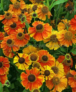 HELENIUM (SNEEZEWEED) HYBRIDA 'SAHIN'S EARLY FLOWERER' I (25 P.BAG)