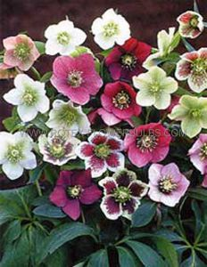 HELLEBORUS ORIENTALIS MIX I (25 P.BAG)