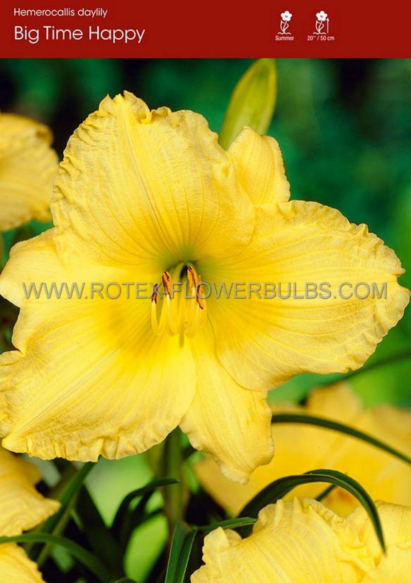 hemerocallis daylily big time happy i 25 pbag